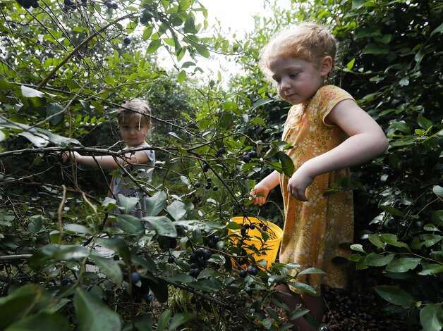 Charlie Pruhs, right, picks blueberries with Lily Forthorson at Moorhead's Blueberry Farm, Saturday, July 10, 2021, in Conroe. Photo: Jason Fochtman/Staff Photographer / 2021 © Houston Chronicle