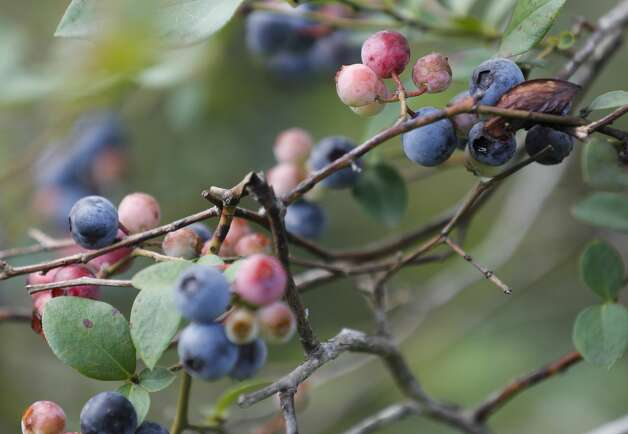 Blueberries are seen at Moorhead's Blueberry Farm, Saturday, July 10, 2021, in Conroe. Photo: Jason Fochtman/Staff Photographer / 2021 © Houston Chronicle