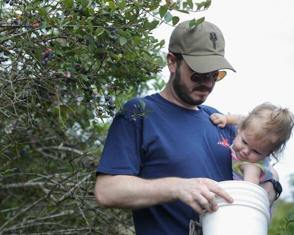 Emilia Spangler grabs a blueberry from her father's bucket during a visit to Moorhead's Blueberry Farm, Saturday, July 10, 2021, in Conroe. Photo: Jason Fochtman/Staff Photographer / 2021 © Houston Chronicle