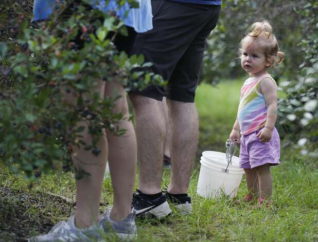 Emilia Spangler holds a bucket of blueberries during a visit to Moorhead's Blueberry Farm, Saturday, July 10, 2021, in Conroe. Photo: Jason Fochtman/Staff Photographer / 2021 © Houston Chronicle