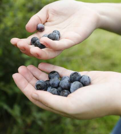 Audrey Dautengahn puts a few picked blueberries in her hand at Moorhead's Blueberry Farm, Saturday, July 10, 2021, in Conroe. Photo: Jason Fochtman/Staff Photographer / 2021 © Houston Chronicle