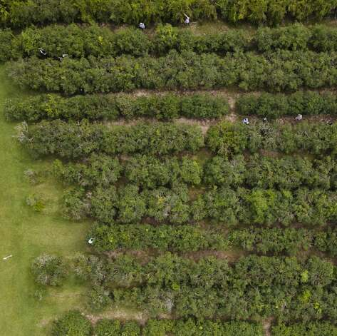 Moorhead's Blueberry Farm will remain open for another two weeks after the hard freeze in February extended this year's harvest, Saturday, July 10, 2021, in Conroe. Photo: Jason Fochtman/Staff Photographer / 2021 © Houston Chronicle