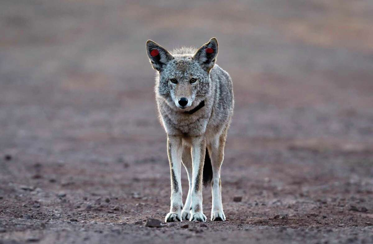 A female coyote walks near the Marin Headlands in the Golden Gate National Recreation Area near Sausalito last year.