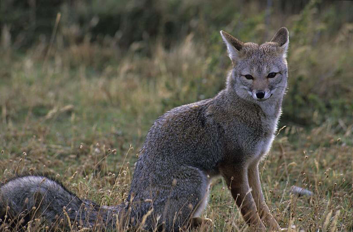 The New York State Department of Environmental Conservation said gray foxes were likely the culprits in a number of recent fox attacks in Saratoga Springs, N.Y.