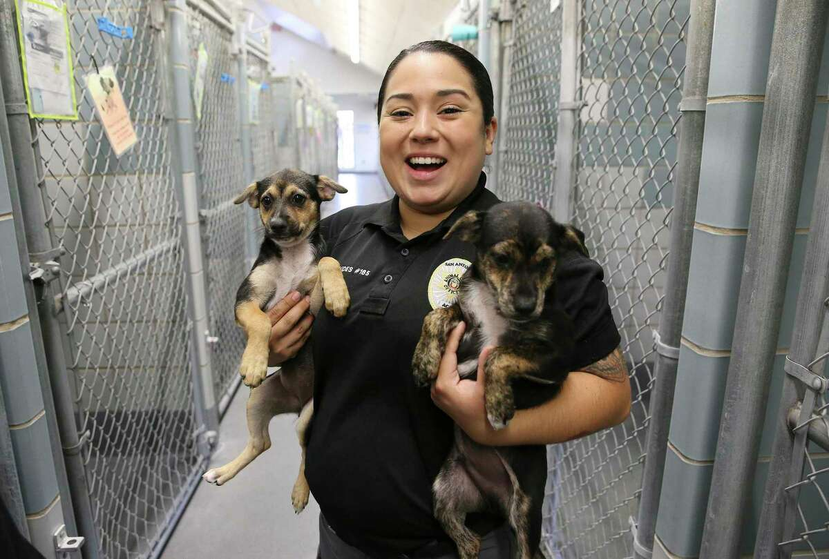 Since the age of 15, Sabrina Oyervides has risen through the ranks at Animal Care Services from volunteer, mascot, animal care officer to her current role: live release coordinator. Oyervides works in the intake office using her years of knowledge to work with people who have received citations, adopted pets or picking up pets released from quarantine.