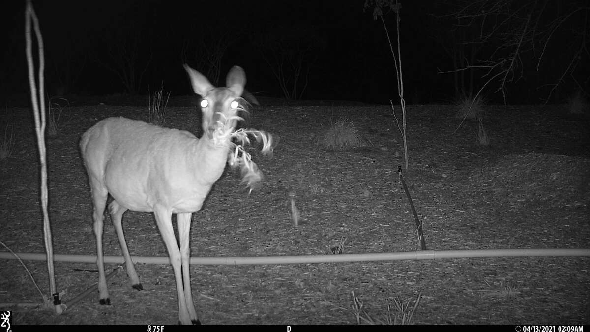 A white-tailed deer is spotted on the Robert L.B. Tobin Land Bridge with the use of a hidden camera.