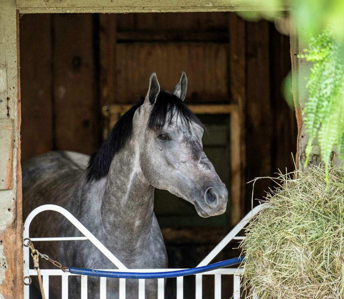 Belmont Stakes winner Essential Quality is preparing for the Jim Dandy at Saratoga.
