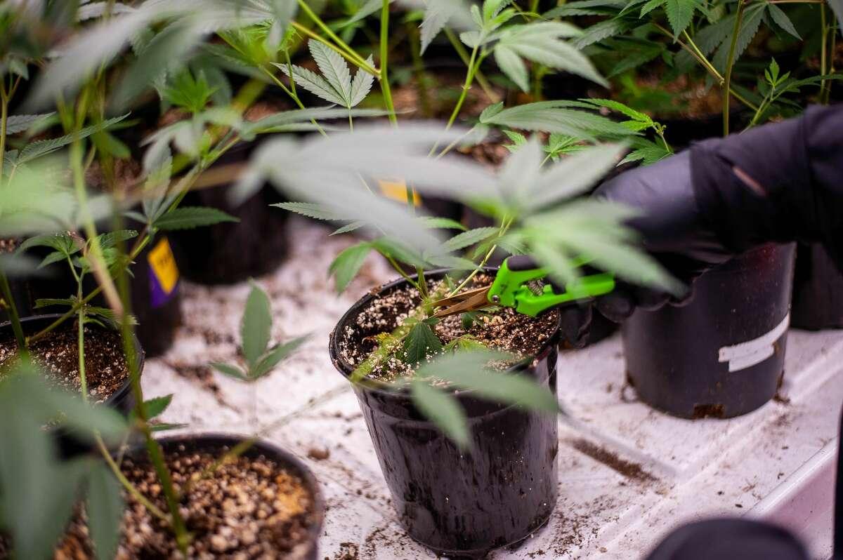 FILE - Six Lakes resident Darci Bower trims marijuana plants on July 16, at Hempire Collective, 10147 N. Loomis Road.