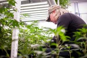 Six Lakes resident Darci Bower trims marijuana plants on July 16, at Hempire Collective, 10147 N. Loomis Road.