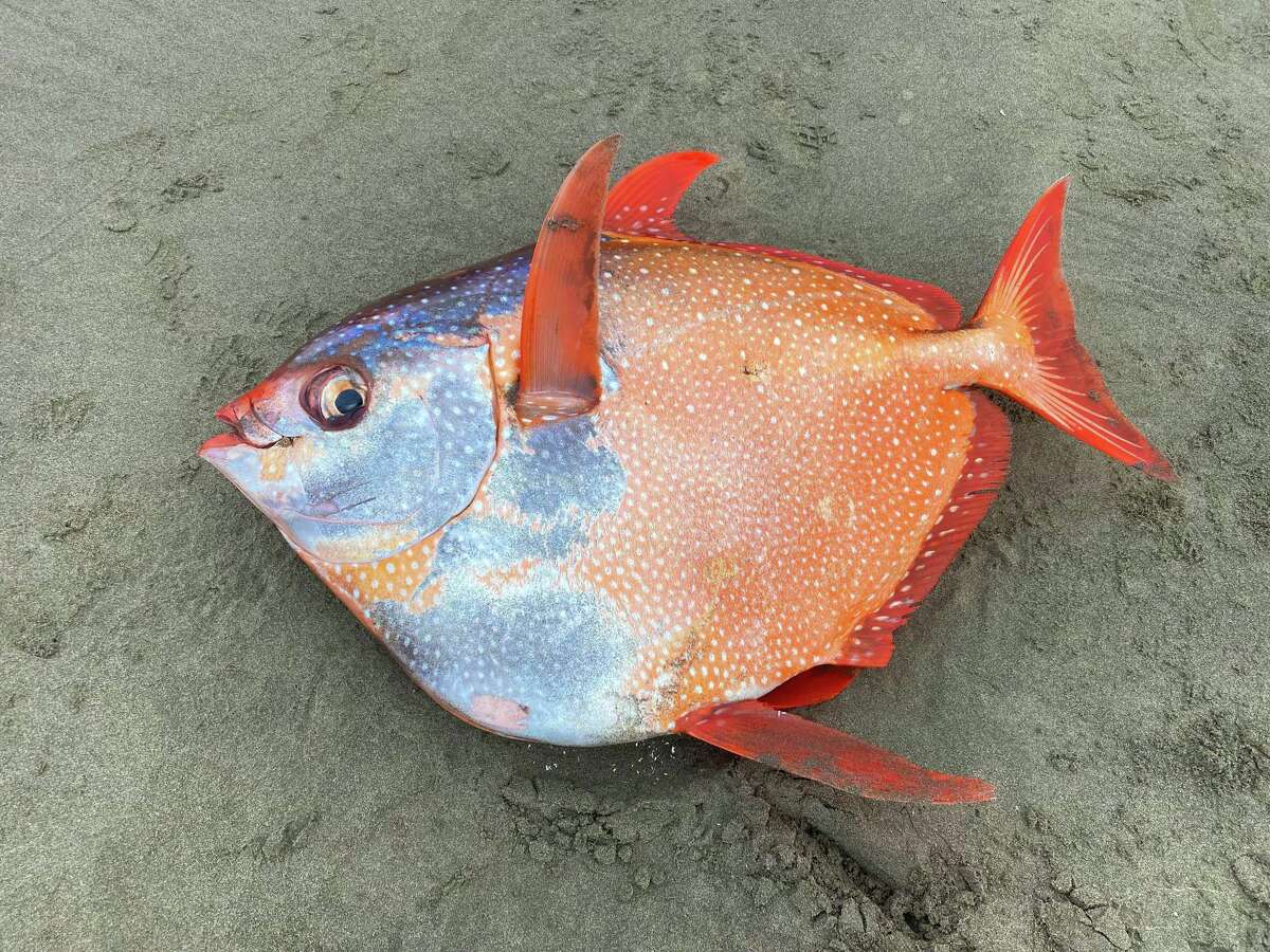 A 3 1/2 foot, 100-pound opah was found July 14 on Sunset Beach on the northern Oregon coast.