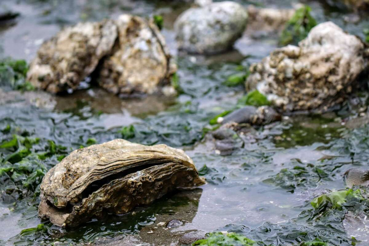 Oyster beds exposed during low tide at Hood Canal Washington
