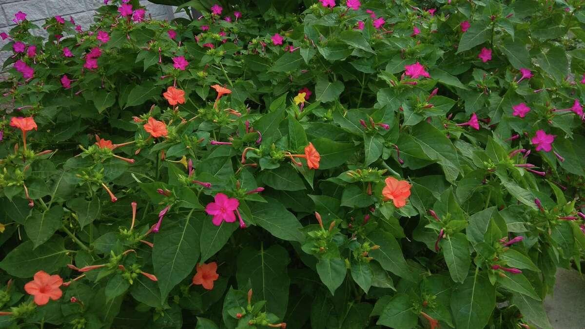 Four o'clocks flowers seem eager to take the place of freeze-damaged primrose jasmine.