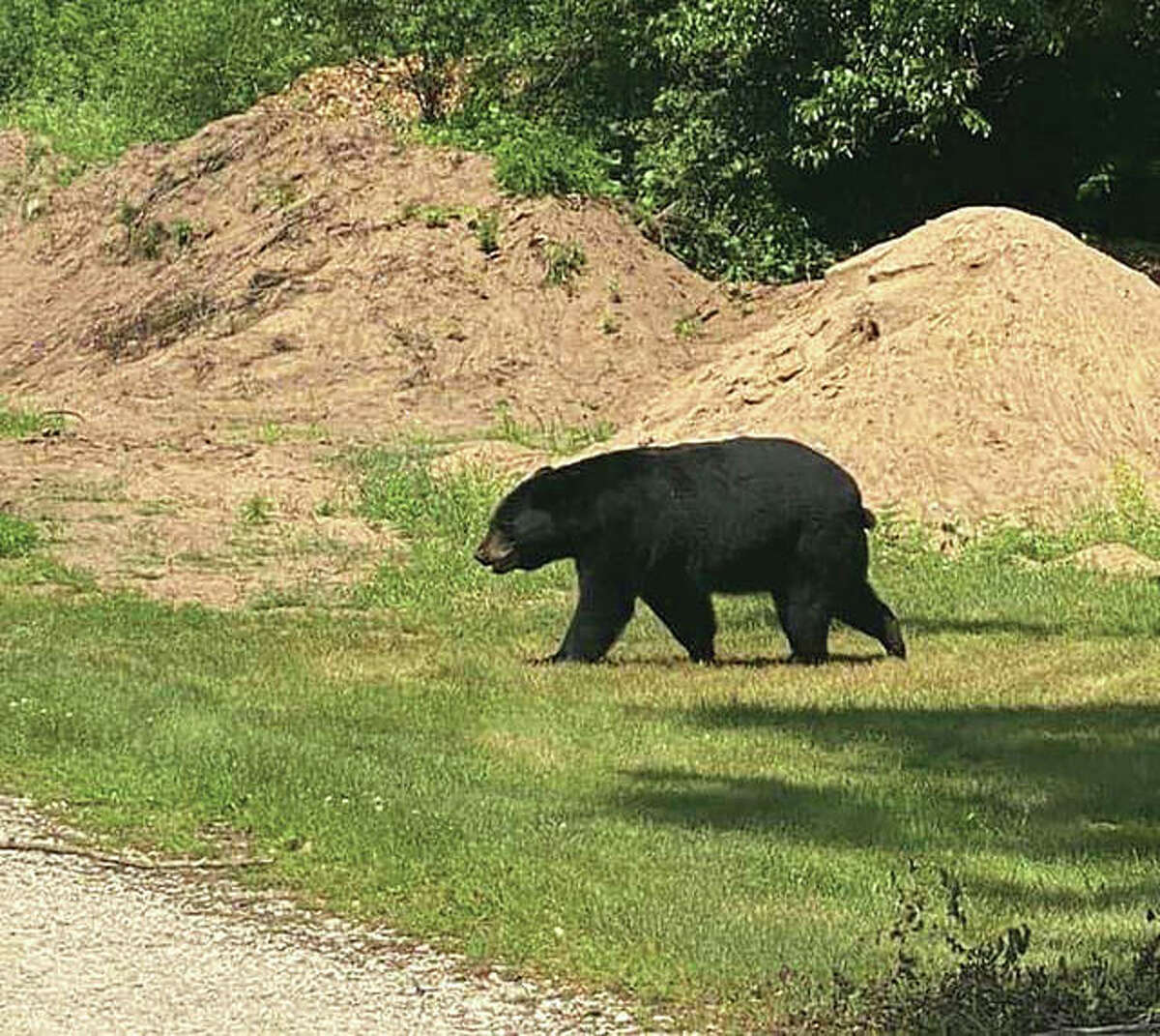 A black bear, similar to this one seen last year 90 miles north of the Riverbend, was reported in LaVista Park in Godfrey. Village officials said the Illinois Department of Natural Resources is investigating the site, and the village will release more information when it becomes available.