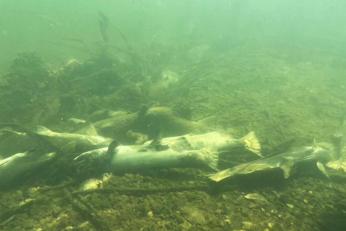 A pile of dead winter-run Chinook salmon sit on the bottom of Turtle Bay in the Sacramento River due to low-level, warming water in the Sacramento River in Redding, Calif. Wednesday, July 7, 2021.