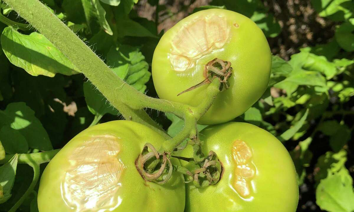 This is sunscald damage on these tomatoes. It happens when fruit is exposed to the intense direct rays of the sunlight, especially after a period of cloudy, cool weather. It can also help happen when the plant loses foliage due to disease. There was a good bit of this after the May and June cloudy spells. Once it turned sunny, the vulnerable fruit was exposed.