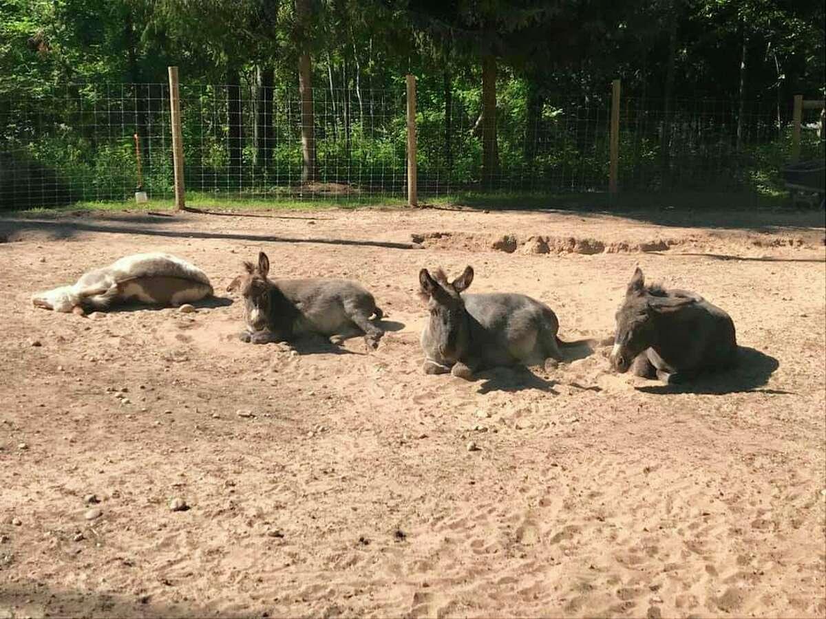 The animal park at the Crystal Lake Alpaca Farm is home to alpacas, miniature donkeys and Nigerian dwarf goats. (Courtesy Photo)