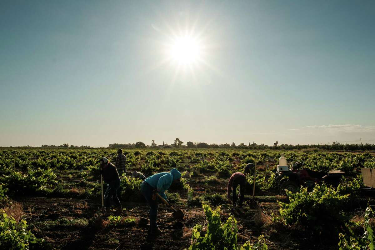 Farmworkers replant vines at a vineyard in Davis, Calif., on July 9. California's Central Valley was under an excessive heat warning that weekend as temperatures reached up to 115 degrees.