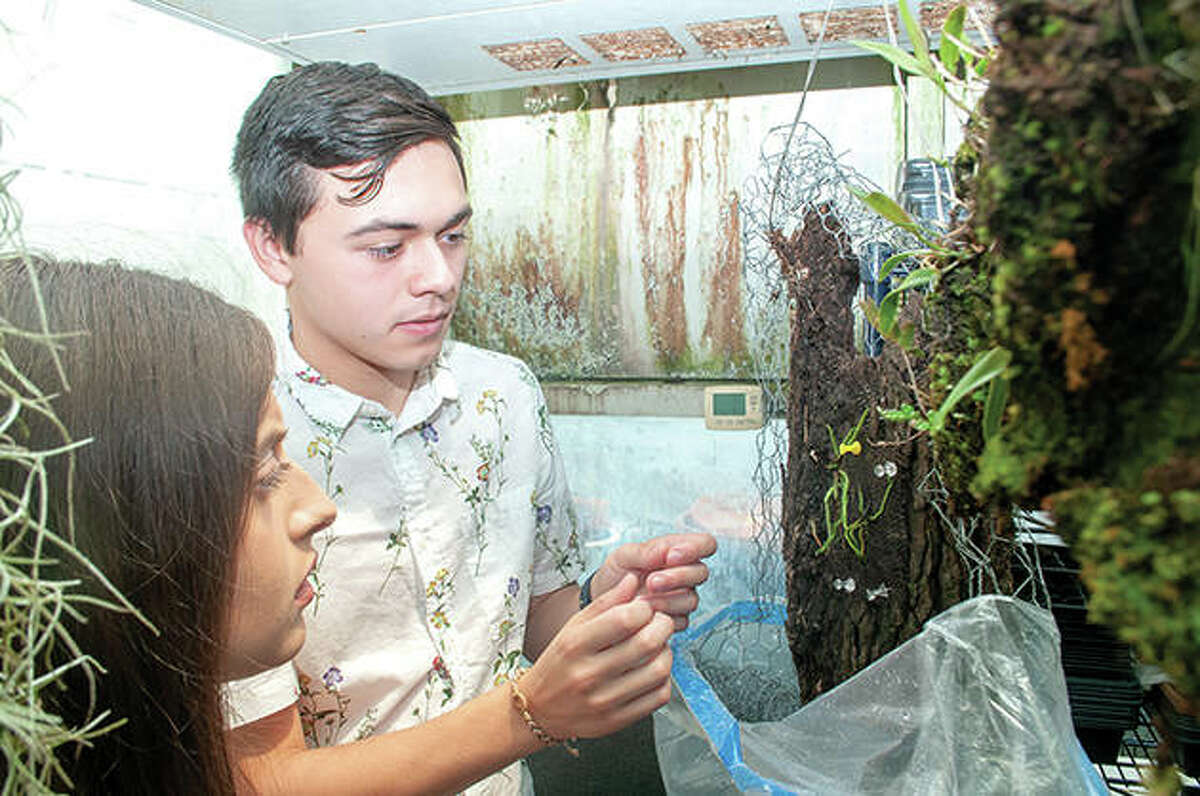 Audrey Zettler (left) and Tony Ruiz place a ghost orchid on some tree bark Monday afternoon inside the greenhouse at Illinois College. Ruiz and Zettler, along with two Illinois College professors, recently were in Florida to study a rare orchid that grows in the Florida Panther National Wildlife Refuge.