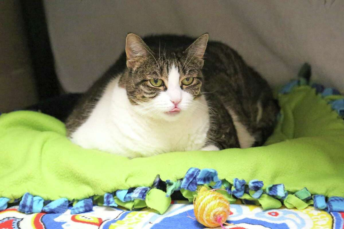 Keke is looking for a new home...and a personal trainer! This 11-year-old girl is a chunkette at more than 15 pounds and is working on slimming down to a healthier weight. She'd love someone to help her exercise by throwing treats or toys across the room, giving her a cat condo to climb, and waving a wand toy for her to pounce on. Keke's open to a dog or cat friend and kids over 10 years old who will be gentle and respectful with her. Since she's a quiet girl who loves naptime, she'd prefer a peaceful home. She may even reward you with a funny face and stick her tongue out like she did for this photo! Visit CThumane.org/adopt to learn more. An online application can be found in each pet's profile.
