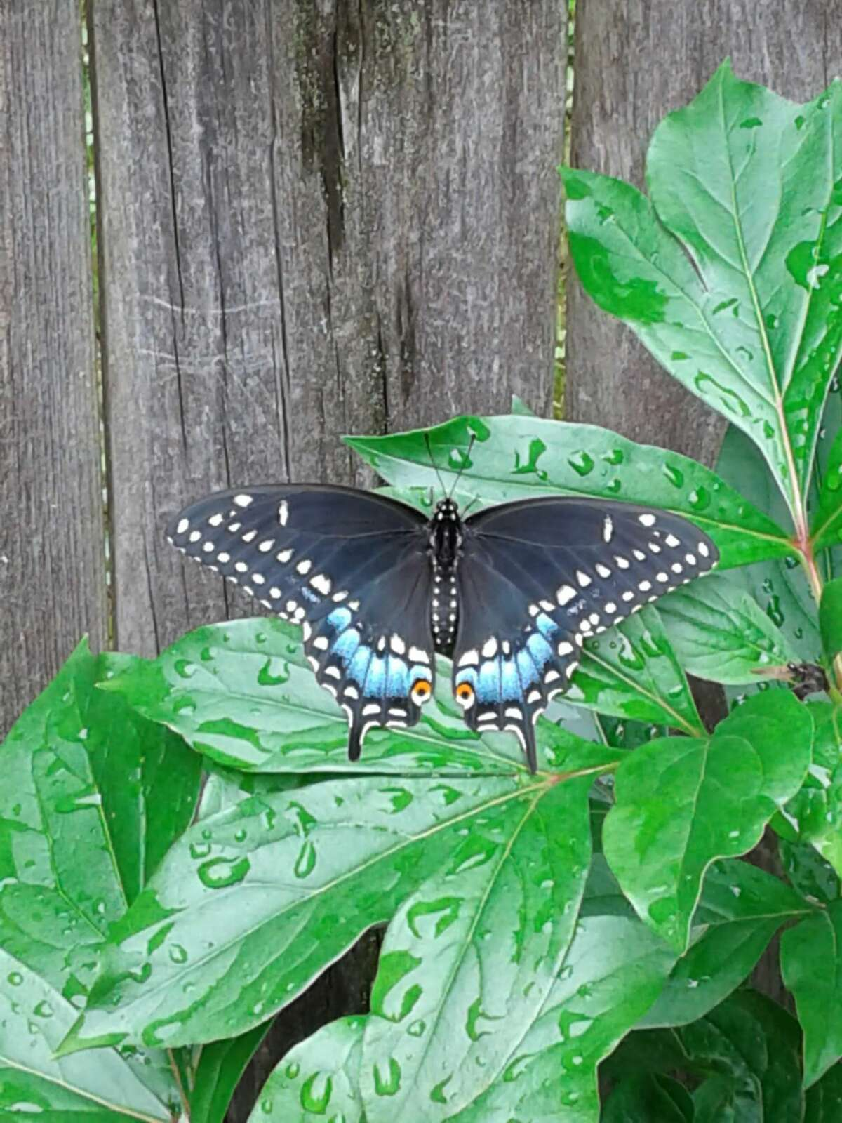 We were lucky to be host for this black swallowtail in our garden in Watervliet, says Dawn O'Connor