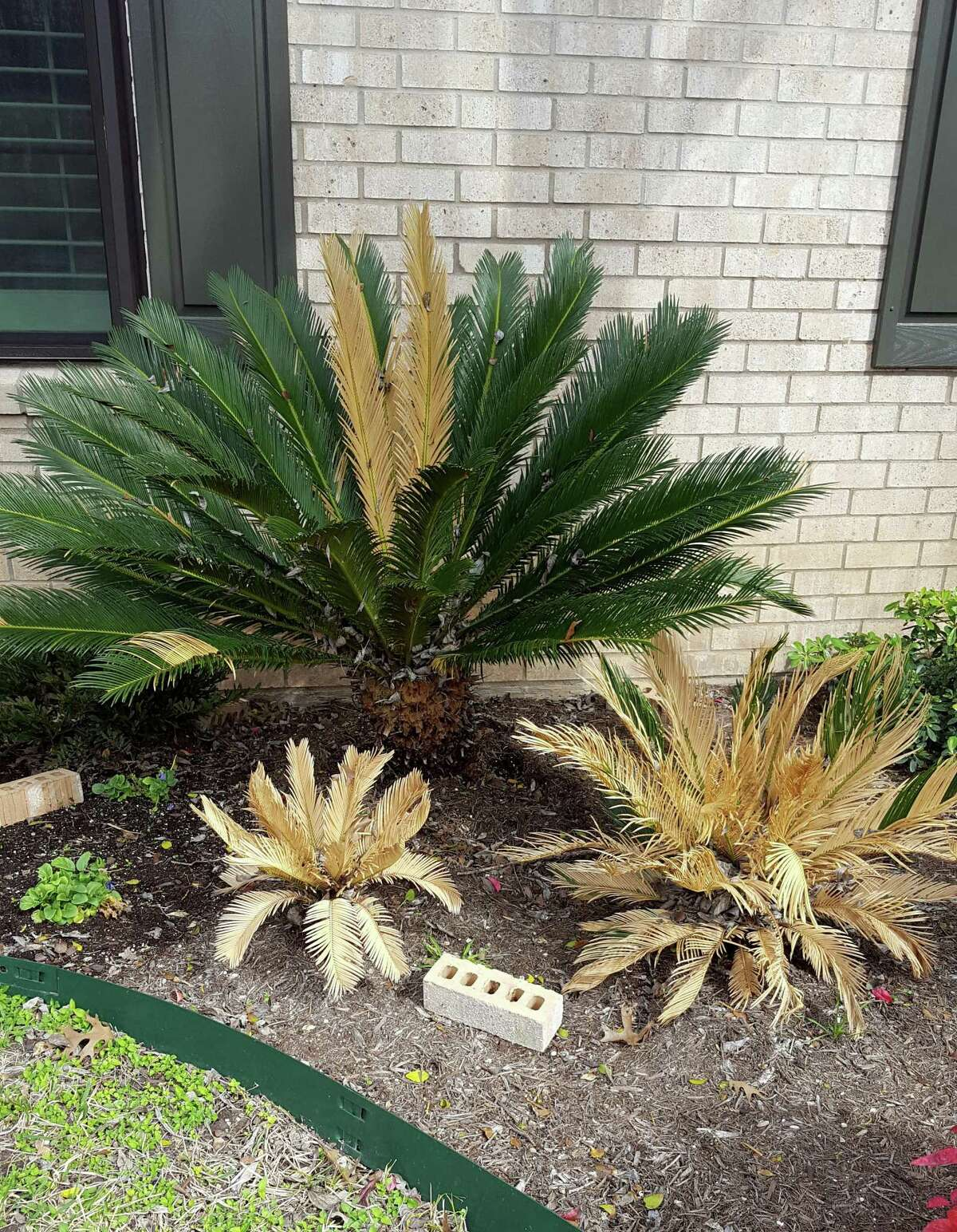 These three sago palm suffered freeze damage. The larger one looks like it will be fine, but the younger ones are probably gone. This winter's cold temperatures proved fatal to many tropical plants in Texas.