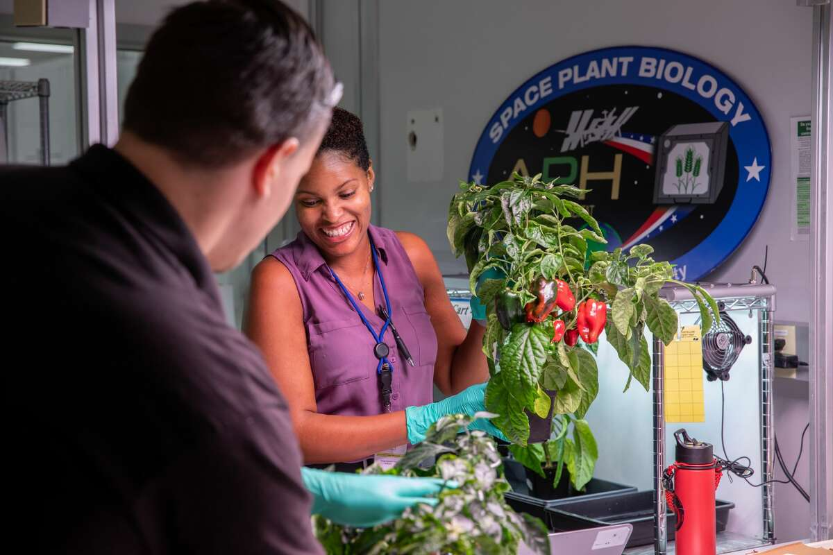 Jason Fischer (left), a research scientist, and Lashelle Spencer, a plant scientist, with the Laboratory Support Services and Operations contract at NASA's Kennedy Space Center in Florida, harvest peppers from pepper plants on Jan. 15, 2020, that were grown in the Space Station Processing Facility for a growth assessment in preparation for sending them to space. As NASA prepares to send humans beyond low-Earth orbit, the ability for astronauts to grow a variety of fresh fruits and vegetables in space will be critical. Fresh produce will be an essential supplement to the crew's pre-packaged diet during long-duration space exploration when they are away from Earth for extended periods of time.