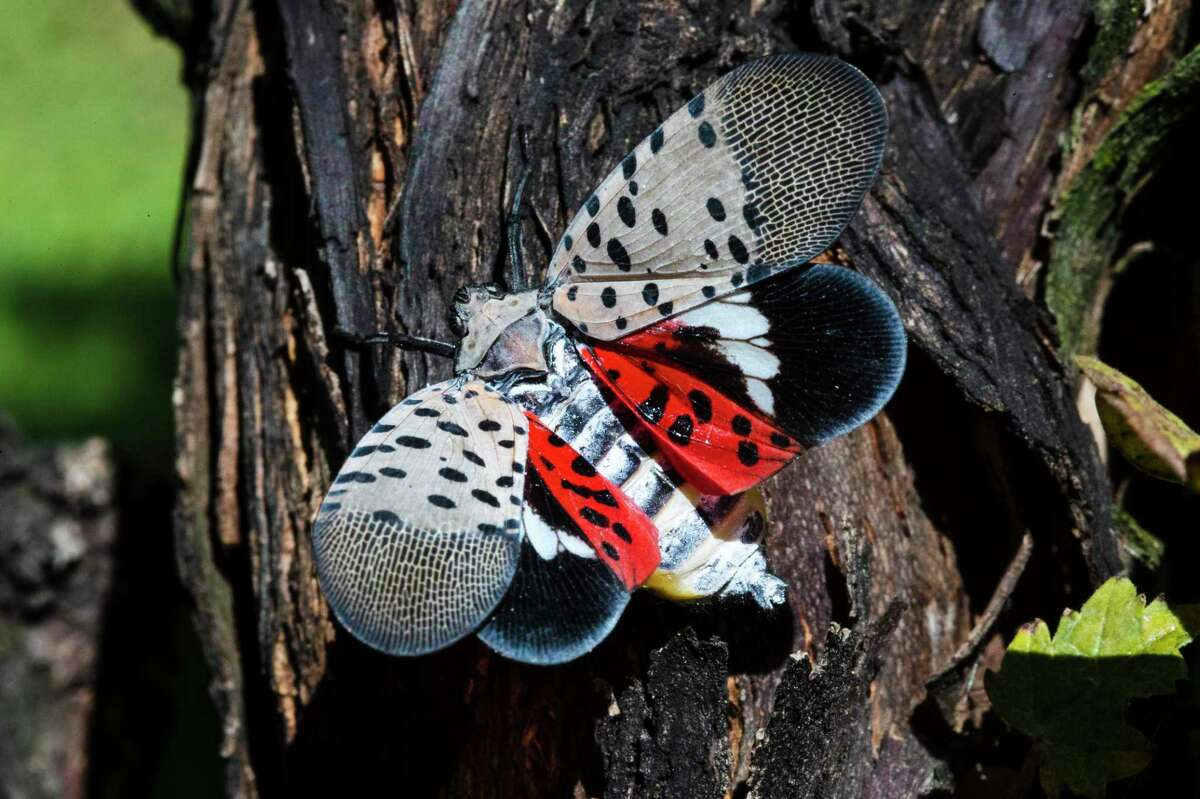 This Thursday, Sept. 19, 2019, photo shows a spotted lanternfly at a vineyard in Kutztown, Pa. Nymphs of the insect have recently been found in Norwalk, Conn.