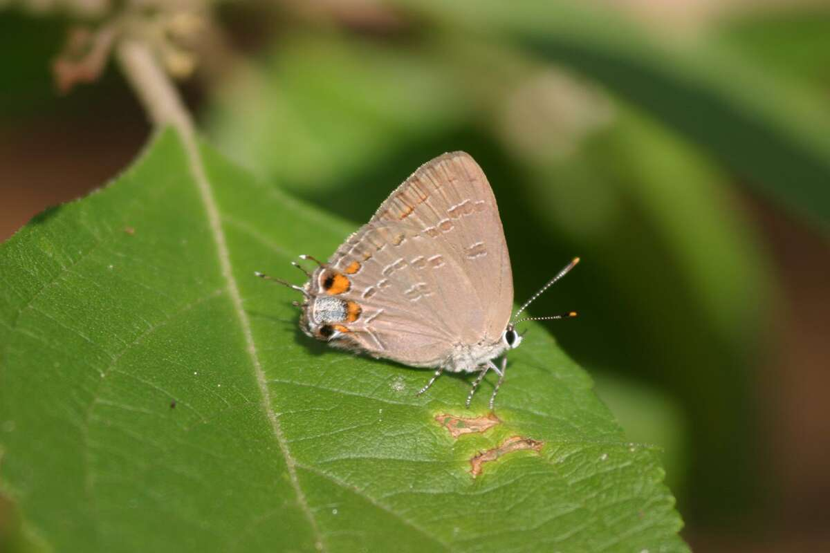 Banded hairstreaks have a clever deception to avoid becoming food for a bird. The hind end of the wing looks nearly identical to the head at the front end.