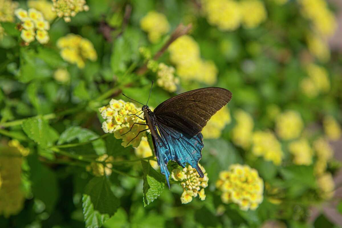 Pipevine swallowtails have a blue sheen on their hind wings. Multiple species of butterflies will be hatching from their pupae in the coming days thanks to the rains and our semi-tropical warm weather.