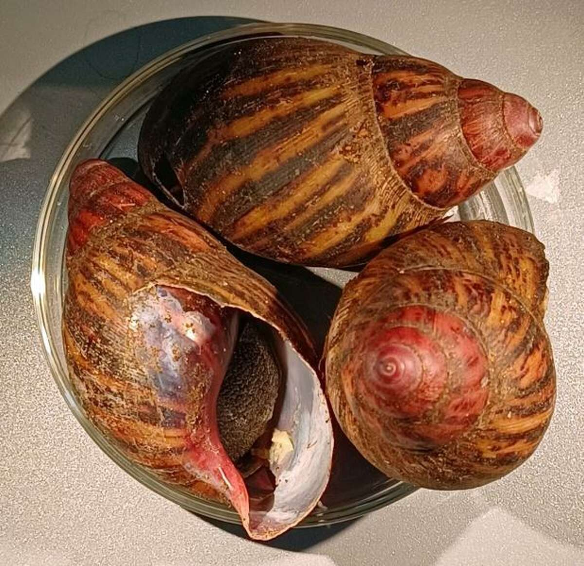 These snails were seized from a passenger's luggage at IAH in July.