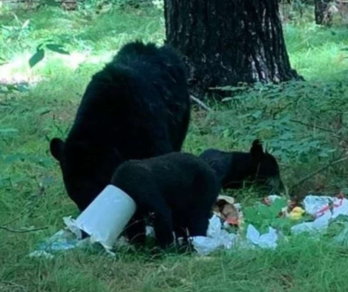 This poor bear cub had a chicken feeder stuck on its head for more than a week until DEC officers arrived and cut it off, freeing the bear from its misery.