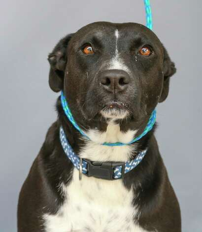 """Petunia (A577327) is a 5-year-old, female, pit bull mix available for adoption at Harris County Pets. Petunia and her sister, Harley (A577324) were surrendered by their owners after they would """"occasionally"""" dig out of their backyard. The owner says both dogs are friendly with people, including children, and other dogs. They are both very sweet and love treats. Petunia knows the command for """"sit"""", seems that Harley is still working on that command. Photo: Karen Warren, Staff Photographer / @2021 Houston Chronicle"""