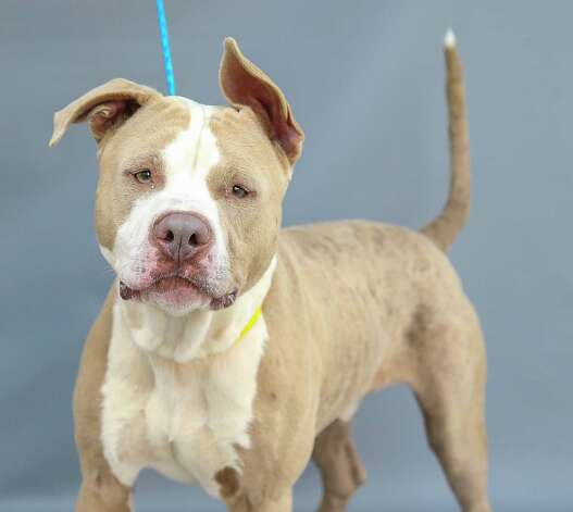 Harmony (A576940) is a 2-year-old, male, American Pit Bull mix available for adoption at Harris County Pets. Harmony was a stray who was picked up by animal control. He was called in by a citizen who reported that Harmony was super sweet and friendly. Harmony loves treats and attention. Photo: Karen Warren, Staff Photographer / @2021 Houston Chronicle
