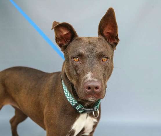 """Harley (A577324) is a 2-year-old, female, Labrador retriever mix available for adoption at Harris County Pets. Harley and her sister Petunia (A577327) were surrendered by their owners after they would """"occasionally"""" dig out of their backyard. The owner says both dogs are friendly with people, including children, and other dogs. They are both very sweet and love treats. Petunia knows the command for """"sit"""", seems that Harley is still working on that command! But both are sweet dogs! Photo: Karen Warren, Staff Photographer / @2021 Houston Chronicle"""