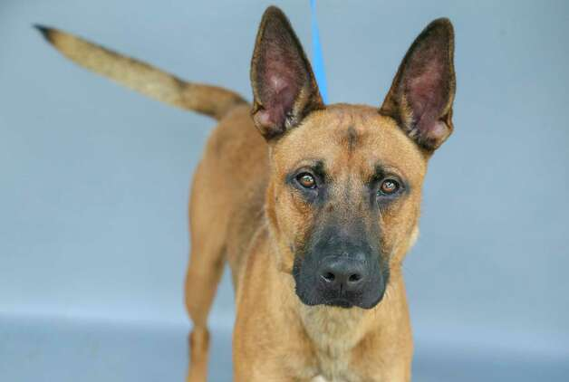 Brownie (A576200) is a 3-year-old, male, Belgian Malinois mix available for adoption at Harris County Pets. Brownie was returned by his owner after one day because his wife was allergic to the dog. Brownie knows how to sit, fetch, and shake hands. Brownie is a sweet and smart boy. Photo: Karen Warren, Staff Photographer / @2021 Houston Chronicle