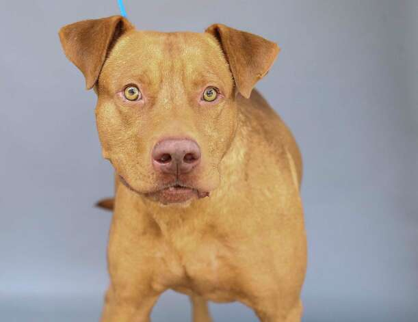 Ranger (A576640) is a 1-year-old, male, Labrador retriever mix available for adoption at Harris County Pets. Ranger, after less than a year living with his owner, was surrendered, by that owner. Per the owner, Ranger loves men, women, children and other dogs. Photo: Karen Warren, Staff Photographer / @2021 Houston Chronicle