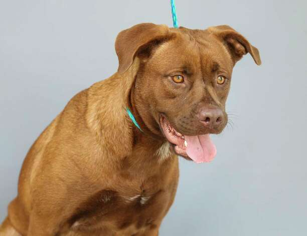 Aurora (A577381) is a 1-year-old, female, Labrador retriever mix available for adoption at Harris County Pets. Aurora and her pup, Goose, were impounded by Animal Control at the end of June, after a caller reported seeing them running loose in her neighborhood. After being brought to the shelter, the staff reports that Aurora is a very friendly girl, who loves attention. Goose was adopted July 8. Photo: Karen Warren, Staff Photographer / @2021 Houston Chronicle
