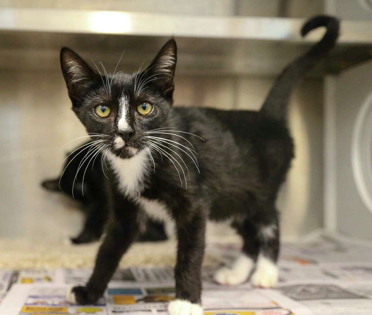 Laverne (A577401) and her sister Shirley (A577402) are 16-week-old, female, black/white Tuxedo kittens available for adoption at Harris County Pets. Laverne and Shirley along with their brothers, Lenny and Squiggy, were found abandoned at a local animal hospital, and brought into the shelter on June 29th.