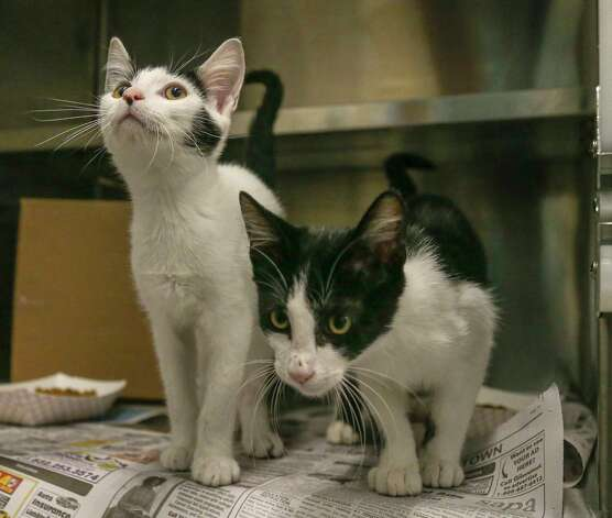 Lenny (left, A577404) and his brother, Squiggy (right, A577403) are 16-week-old, male, black/white Tuxedo kittens available for adoption at Harris County Pets. Lenny and Squiggy, along with their sisters, Laverne and Shirley, were found abandoned at a local animal hospital, and brought into the shelter on June 29th. Photo: Karen Warren, Staff Photographer / @2021 Houston Chronicle