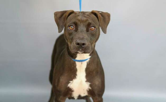 Sweet Caroline (A577554) is a 1-year-old, female, black Staffordshire mix available for adoption at Harris County Pets. Sweet Caroline was brought into the shelter by animal control after she was trapped and confined in a mobile home park. The staff soon found out that she is a very sweet and friendly girl, who would be a great addition to anyone's home. Photo: Karen Warren, Staff Photographer / @2021 Houston Chronicle