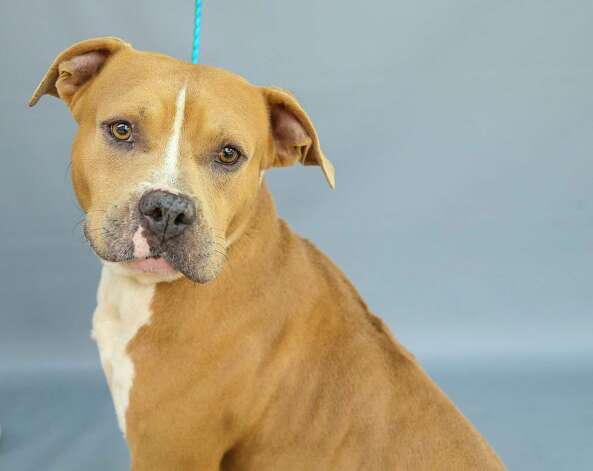 Franklin (A577643) is a 2-year-old, male, American Staffordshire mix available for adoption at Harris County Pets. Franklin was one of two dogs impounded by animal control on July 2, following a dispatch call from the Harris County Sheriff's office about loose dogs in the neighborhood in Spring. Franklin is a mild-mannered gentleman, who enjoys the company of adult humans and gets along with other dogs. Photo: Karen Warren, Staff Photographer / @2021 Houston Chronicle