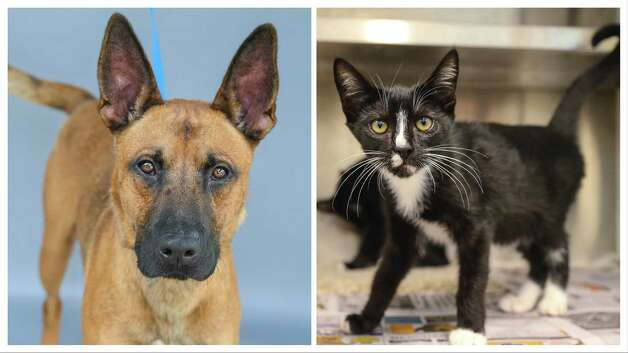Brownie (left, A576200) is a 3-year-old, male, Belgian Malinois mix and Laverne (A577401) and her sister Shirley (A577402) are 16-week-old, female, black/white Tuxedo kittens. All animals are up for adoption at Harris County Pets. Photographed Wednesday July 21, 2021, in Houston. Brownie was returned by his owner after one day because his wife was allergic to the dog. Brownie knows how to sit, fetch, and shake hands. Brownie is a sweet and smart boy. And, Laverne and Shirley along with their brothers, Lenny and Squiggy, were found abandoned at a local animal hospital, and brought into the shelter on June 29th. Photo: Karen Warren, Staff Photographer / @2021 Houston Chronicle