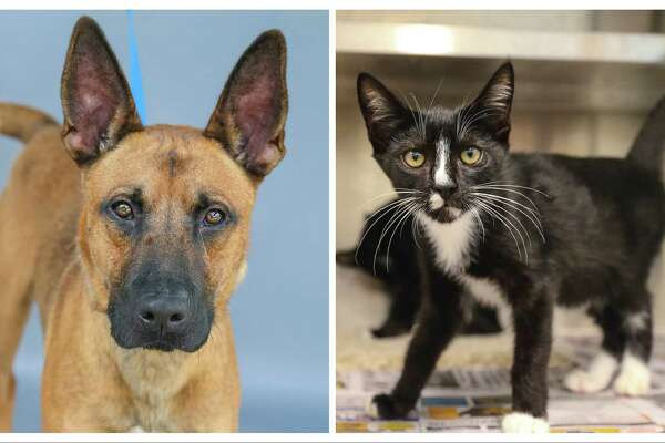 Brownie (left, A576200) is a 3-year-old, male, Belgian Malinois mix and Laverne (A577401) and her sister Shirley (A577402) are 16-week-old, female, black/white Tuxedo kittens. All animals are up for adoption at Harris County Pets. Photographed Wednesday July 21, 2021, in Houston. Brownie was returned by his owner after one day because his wife was allergic to the dog. Brownie knows how to sit, fetch, and shake hands. Brownie is a sweet and smart boy. And, Laverne and Shirley along with their brothers, Lenny and Squiggy, were found abandoned at a local animal hospital, and brought into the shelter on June 29th.