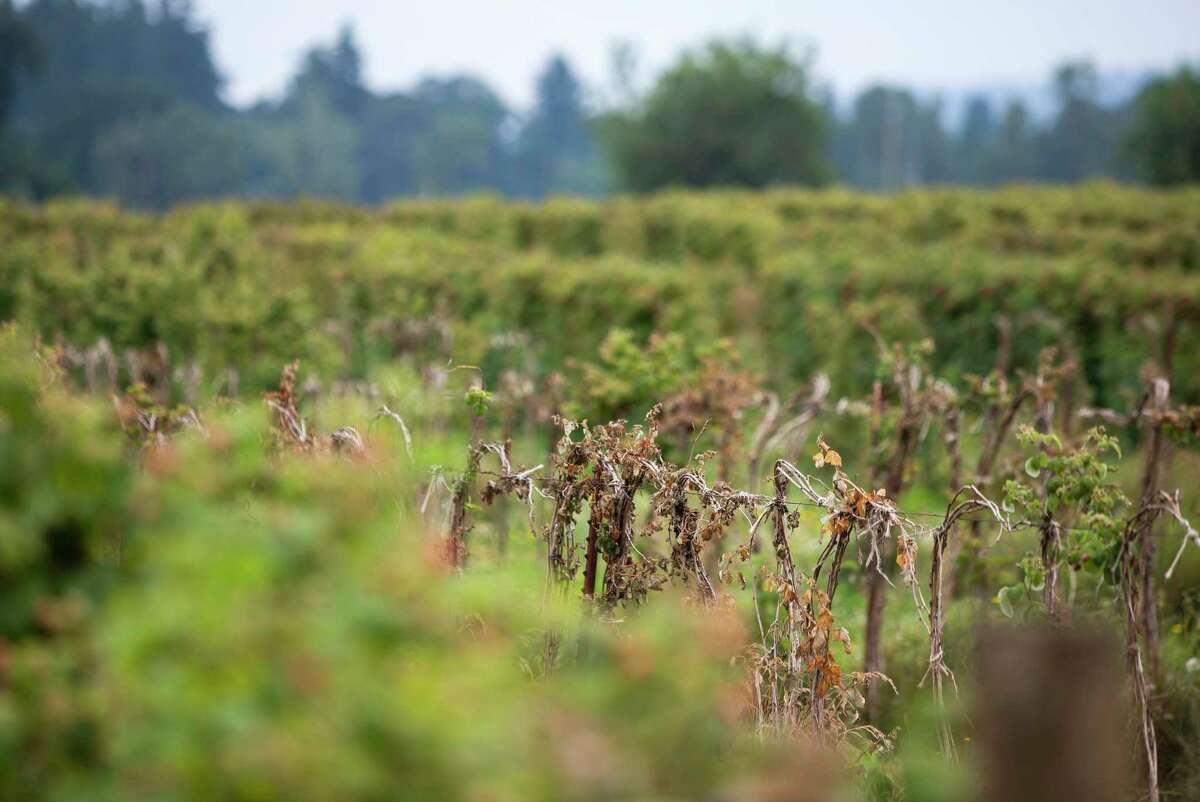 Scorched raspberry plants during the heat wave at a farm just outside of Portland, Ore., on June 30.