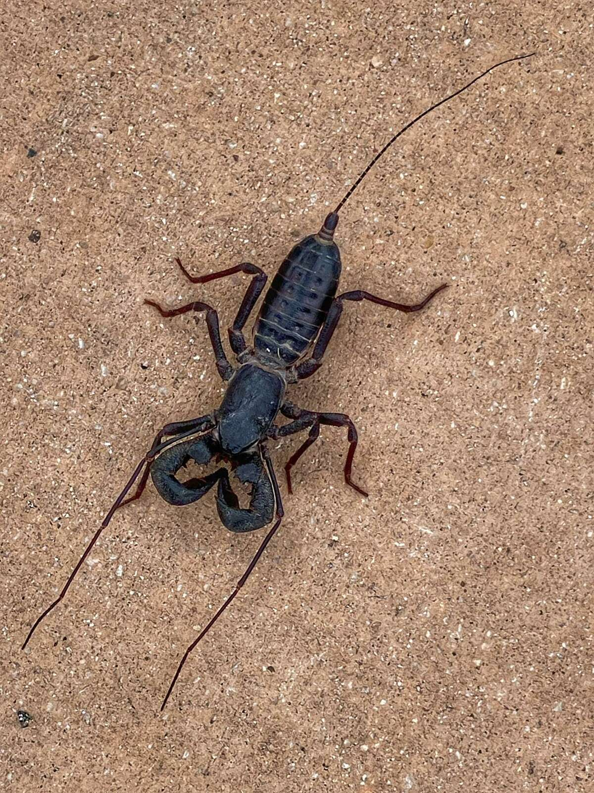 """""""Vinegaroons,"""" also known as whip scorpions, are a cross between a spider and a scorpion. (Big Bend National Park/NPS/CA Hoyt)"""