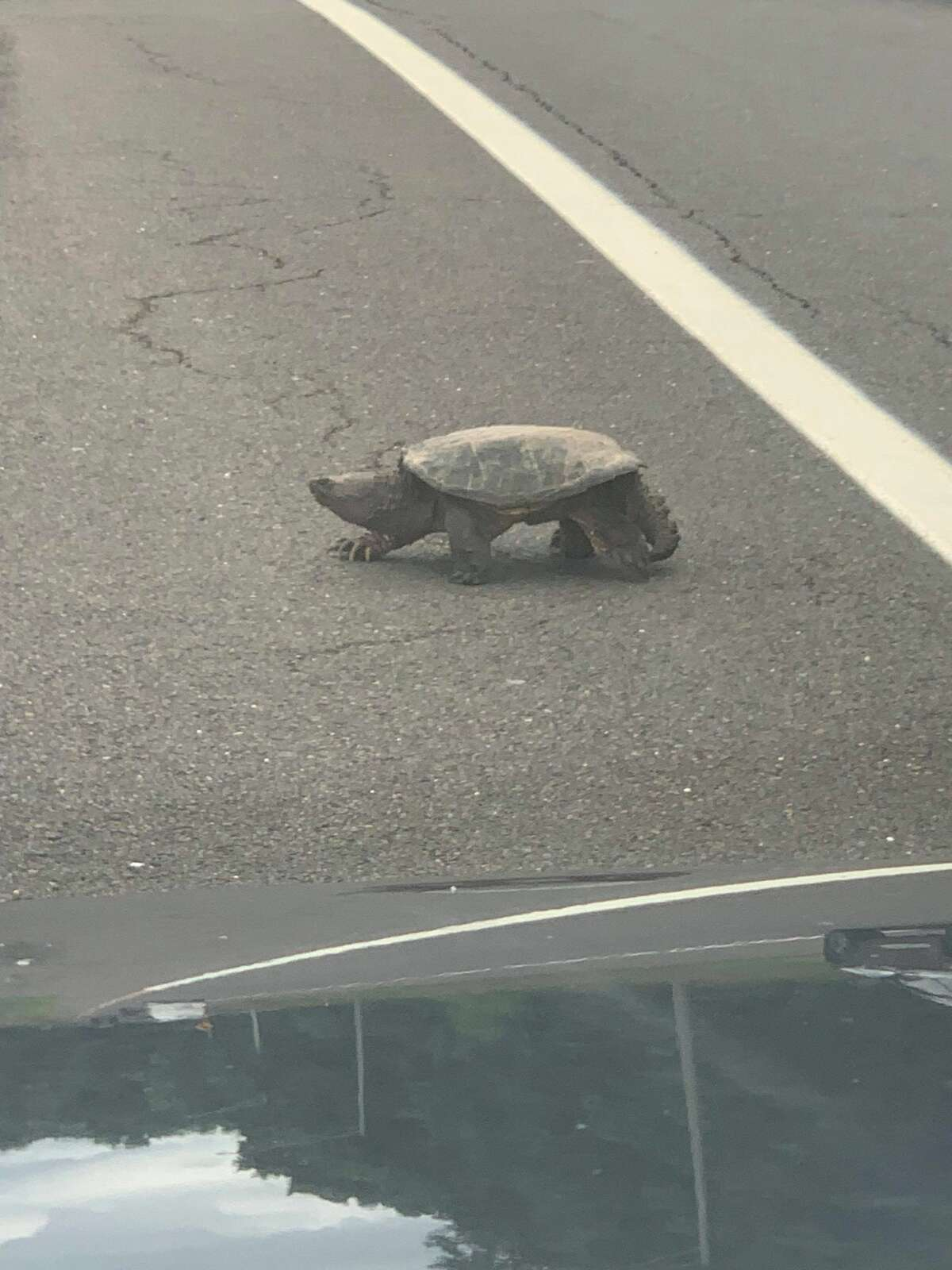 Driver Charles Hill noticed a truck stopped on Wednesday, July 21, 2021 by the 49S exit ramp of the Merritt Parkway with its hazard light on. The truck was stopped to because a snapping turtle was attempting to cross the roadway.