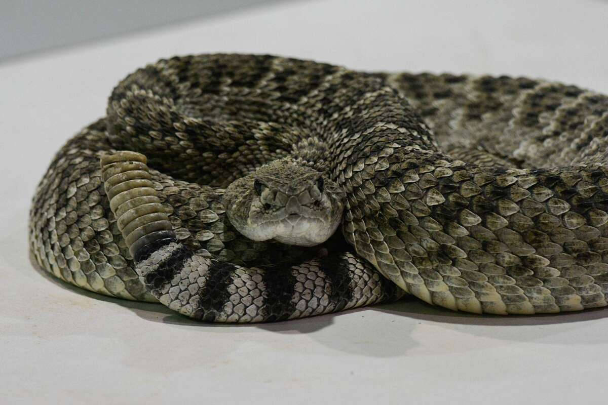A rattlesnake in Sweetwater, Texas, in 2018. Texas has seen an uptick in reported snakebites this year.