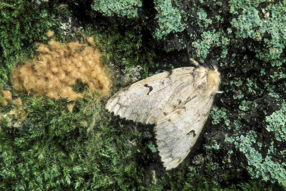 A female Lymantria dispar with egg mass. One female can produce an egg mass of 400 eggs.