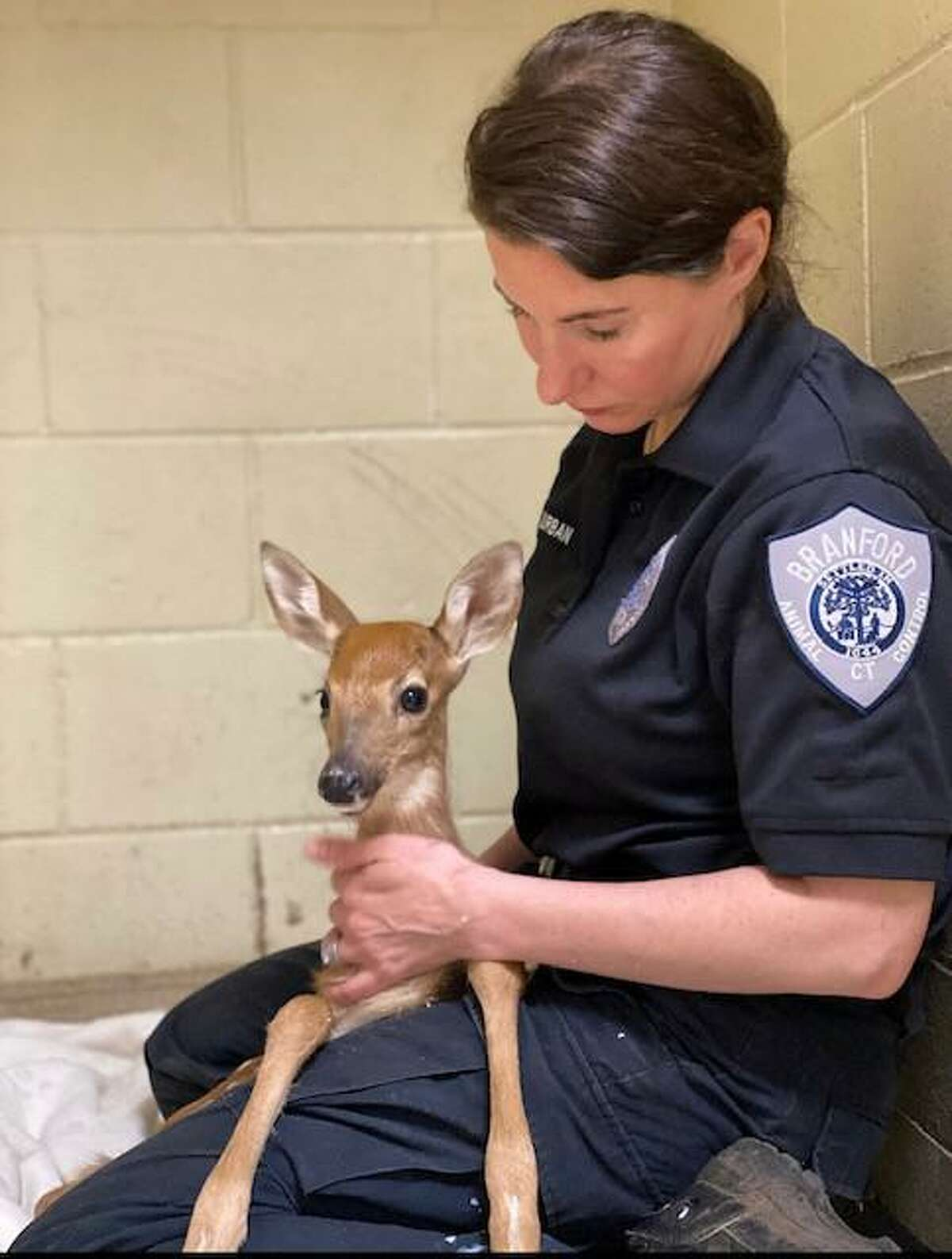 Laura Burban, director of the Dan Cosgrove Animal Shelter in Branford, with an orphaned fawn.