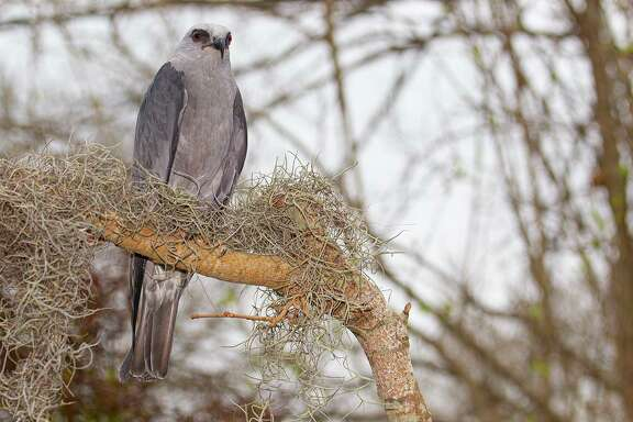 Mississippi kites feed on rats, toads, grasshoppers, songbirds, and snakes. They can be seen sailing through our August skies. Photo Credit: Kathy Adams Clark. Restricted use.